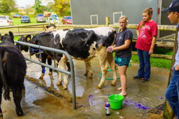 Washing a Cow at the Manheim Community Farm Show